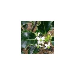 BACH VIRÁGESZENCIA MAGYAL 10 ml - A szívet megnyitó virág