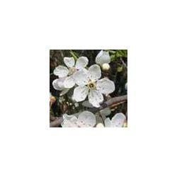 BACH VIRÁGESZENCIA CSERESZNYESZILVA 10 ml - A higgadtság virága