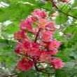 BACH VIRÁGESZENCIA VÖRÖS VADGESZTENYE 10 ml - Az önállósodás virága