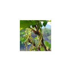BACH VIRÁGESZENCIA TÖLGYFA 10 ml - A kitartás virága