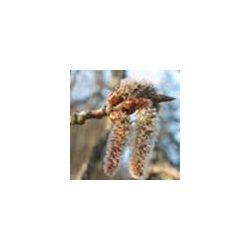 BACH VIRÁGESZENCIA REZGŐNYÁR 10 ml - A sejtelem virága