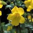 BACH VIRÁGESZENCIA BOHÓCVIRÁG 10 ml - A bátorság virága