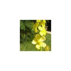 BACH VIRÁGESZENCIA APRÓBOJTORJÁN 10 ml - Az őszinteség virága