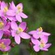 BACH VIRÁGESZENCIA KISEZERJÓFŰ 10 ml - A szolgálás virága