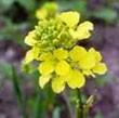 BACH VIRÁGESZENCIA VADREPCE 10 ml - A fény virága