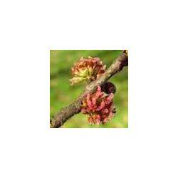 BACH VIRÁGESZENCIA SZILFA 10 ml - A felelősség virága