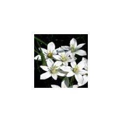 BACH VIRÁGESZENCIA ERNYŐS MADÁRTEJ 10 ml - A vigasz virága