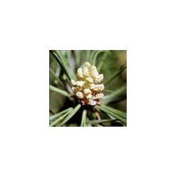 BACH VIRÁGESZENCIA ERDEIFENYŐ 10 ml - Önmagunk elfogadásának virága