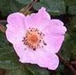 BACH VIRÁGESZENCIA VADRÓZSA 10 ml - Az életkedv virága